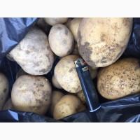 Картопля гуртом від виробника 100т. Оплата з ПДВ