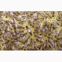 Продам бджоломатки карпатської породи