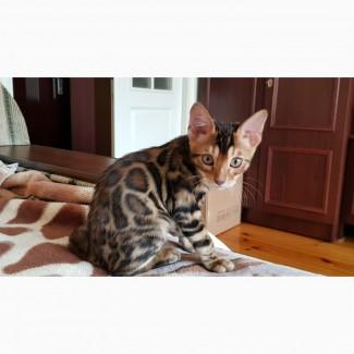 Бенгальская кошка. Бенгальские котята купить. Полтава