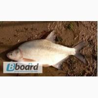 Ищу стабильного надежного поставщика речной рыбы