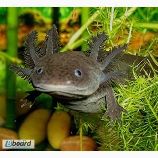 Черный аквариумный дракончик! Доставка по всей Украине
