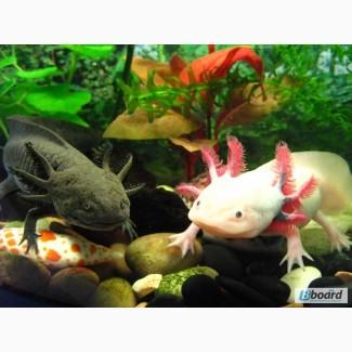Звере-рыбка, первобытная амфибия, водяной дракон - Аксолотль