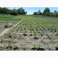 Табак Дюбек семена и готовый лапша 1мм, больше 25 наилучших сортов