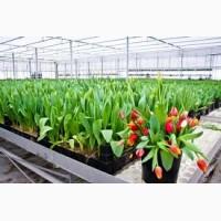 Работа в Голландии на сортировку тюльпанов