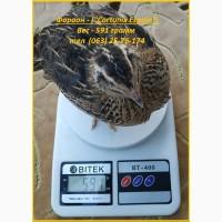 Яйца инкубационные перепела Фараон испанский