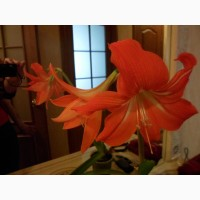 Квіти кімнатні Гиппиаструм