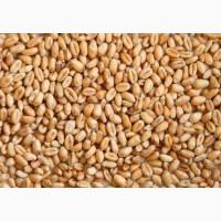 Закупаем пшеницу самовывоз