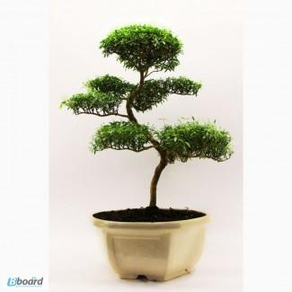 Бонсай миртовое дерево