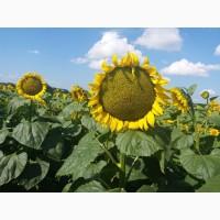 Семена подсолнечника Сирена (A-E) May Agro Seed (Турция)