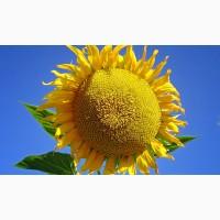 Посівний матеріал соняшнику гібрид Дозор