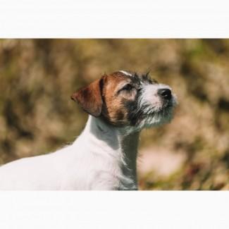 Джек расссел терьер, брокен-купить щенка