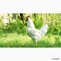Суточный молодняк - Цыплята, Утята, Гусята, Индюшата опт