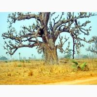 Баобаб (Adansonia digitata) 12 лет