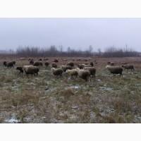 Продам Баранов, Овец живым весом или тушками