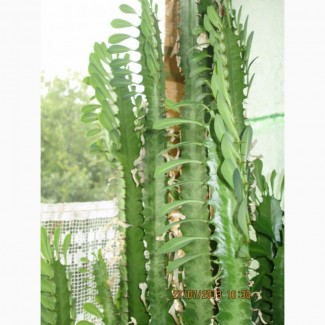 Продам кактусы. В наличии 20 шт. Некоторые цветут. Некоторые достигают более 1 м в высоту
