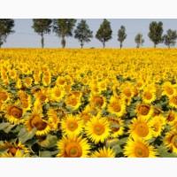 Насіння соняшнику під класичну технологію вирощування