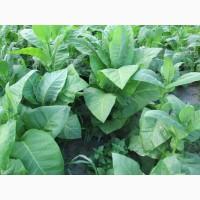 Табак Тернопольский-14 семена и лапша 1мм, есть больше 25 сортов