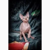 Беззащитный, маленький котёнок Эльф, бамбино, Двэльф, сфинкс