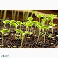 Продажа семян Брио, дк315, Пионер под гранстар, Тунка, Роки, Неома под Евролайтинг