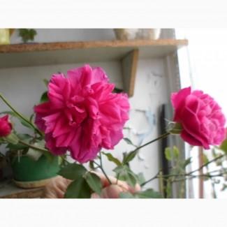 Комнатные растения Роза