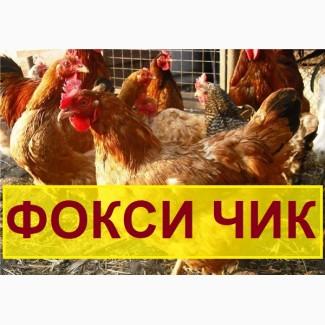 Мясо-яичный кросс Фокси чик из Венгрии. Выход от 80% цена 13 грн