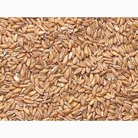 Купляємо пшеницю проблемну, з сажкою+організовуємо самовивіз за домовленістю