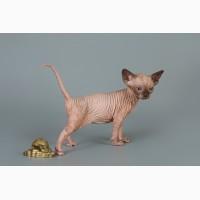 Котёнок сфинкс, эльф, бамбино - прекрасное существо