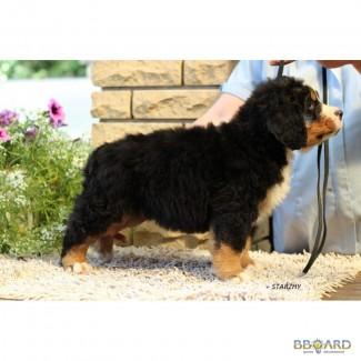 Купить щенка бернского зенненхунда можно здесь