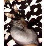 Срочно продам донского сфинкса браш.  Кот.  2,5 года.