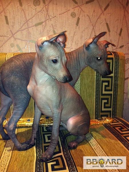 Ксоло-мини, мексиканская голая собака, два щенка(девочки) д.р. 15.05.11г. .