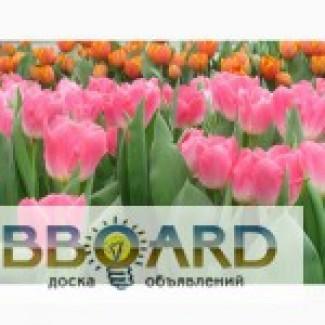 Продам тюльпаны голландских сортов на 8 марта!