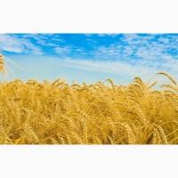 Предлагаем Канадская пшеница Альма, мягкая остистая