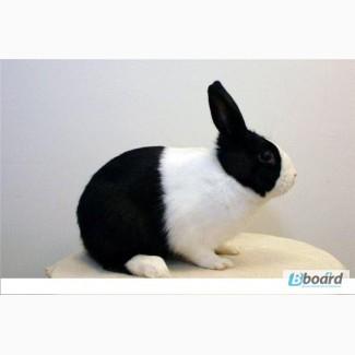 Кролики карликовые 50грн. РАСПРОДАЖА