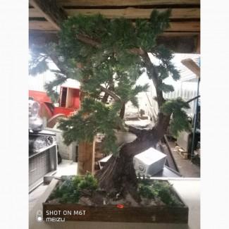 Продам декоративное дерево Бонсай б/у