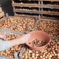 Требуются упаковщики на упаковку луковиц тюльпанов в Польше