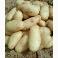 Продам картофель сорта Пикасо и Галла. От Узбекского производителя