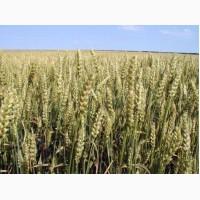 Пшениця Лісова Пісня 1 Репродукція