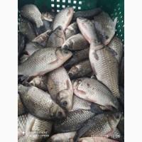 Продам живую рыбу толстолоба, карп, карась, щука, судак, со всеми документами