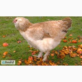 Инкубационное яйцо кур фавероль