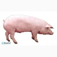 Продам свиней мясных пород живым весом