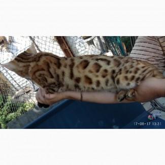 Бенгальские котята Шикарные