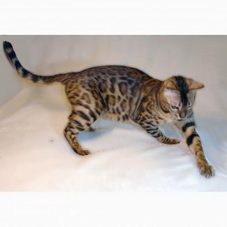 Бенгальские котята. Бенгальская кошка купить во Львове