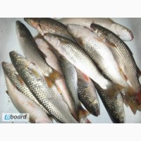 Продам рыбу свежую Пеленгас