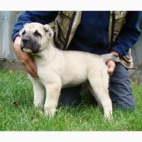 Крупный породный щенок САО (алабай) от уравновешенных родителей