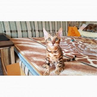 Бенгальские котята. Бенгальская кошка купить