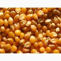Кукуруза фуражная, от производителя! Самовывоз! от 500 тонн