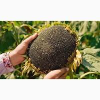 Компанія «Гран» пропонує насіння гібриду соняшнику Бонд 112- 115 днів