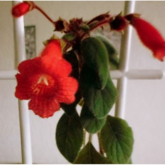Комнатные растения Калерия