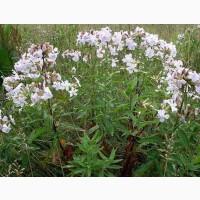 Мыльнянка лекарственная (трава) 50 грамм
