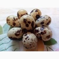 Перепелиные инкубационные яйца белого Техасского бройлера